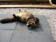 2009 05 24 - 6523 - Barnegat Light - Oliver (thisisbossi) Tags: usa cats cute us newjersey unitedstates nj lbi longbeachisland cuteness oceancounty barnegatlight mainecoons olivermiller