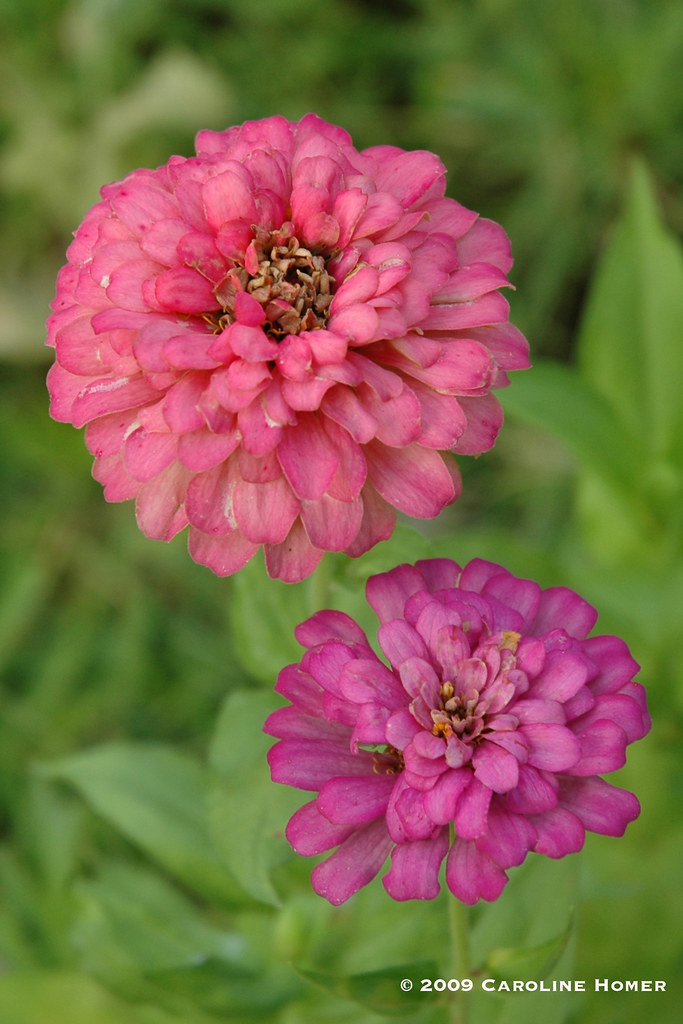 Zinnias (Granny's Bouquet Mix)
