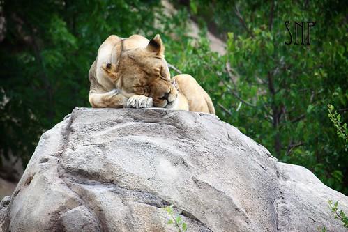 . lioness .