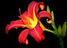 Day Lily 01.jpg