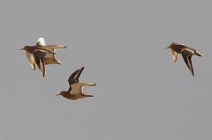 Chorlo de campo (Oreopholus ruficollis) (pablo_caceres_c) Tags: oreopholus fbwnewbird fbwadded tawnythroateddotterel oreopholusruficollis