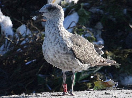 Lesser Black-Backed Gull 2cy / R-H366