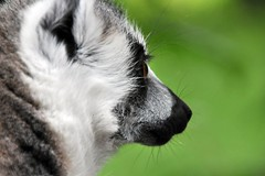 How near do I dare to go? (Joachim S. Mller) Tags: ireland animal mammal zoo monkey irland lemur primate countycork tier affe ringtailedlemur katta fota primat lemurcatta sugetier fotawildlifepark glounthaune feuchtnasenaffe tamronaf18270mmf3563