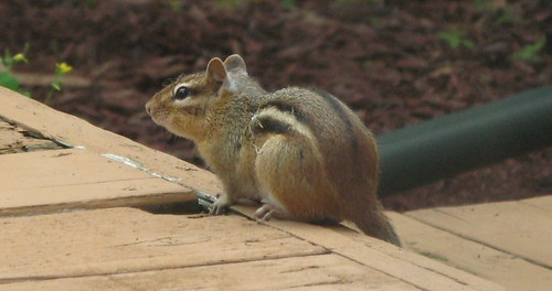 080909_chipmunk_closeup