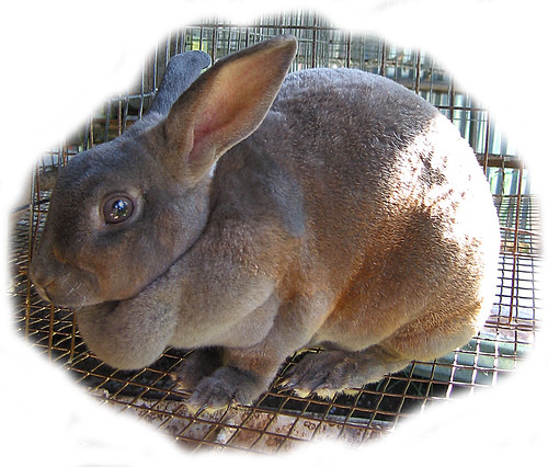 female Rex rabbit
