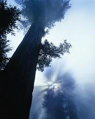 NOT MY Photography...found this on google!! :) (kimbolina000) Tags: california trees light plants usa sunshine fog outdoors photography colorphotography nobody evergreens northamerica redwoods cypresses naturalworld conifers sunbeams redwoodnationalpark treetrunks sequoias