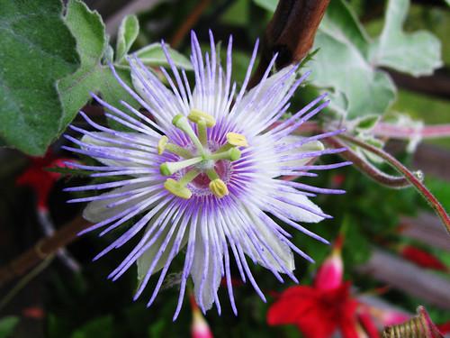 P. arida