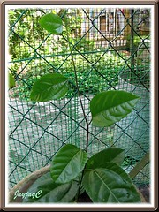 Purple Passion Flower, a young healthy vine with a new shoot after its first pinching, shot on August 19 2009