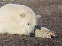 Close sleeping beauty_Q2E2942 (bud_marschner) Tags: alaska polarbear kaktovik