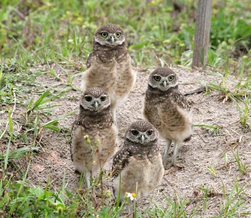 4 BABY BURROWING OWLS