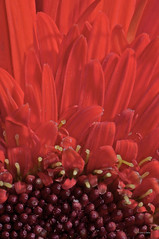 Petals (Cory Dalva) Tags: red flower macro nature petals nikon burgundy center petal gerbera daisy 105mm d90