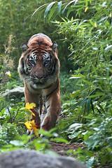 Blijdorp_Tijger-4668 (Arie van Tilborg) Tags: zoo rotterdam blijdorp tiger tijger dierentuin diergaarde rotterdamzoo arievantilborg