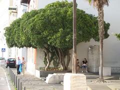 Beautiful tree on main road into Piran city center1 (stevenfeuerstein) Tags: slovenia piran adriatic pirano porotroz