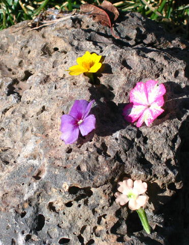 Fairy flowers on lava rock again