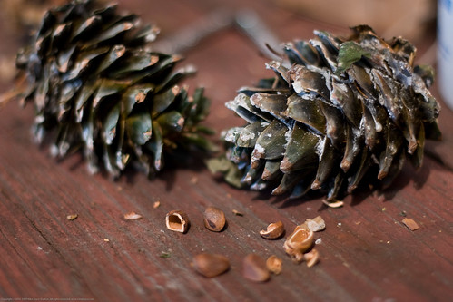 Edible Forest Gardens: korean pine nuts