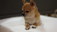 Do you want some treats? (kanonyobo) Tags: chihuahua video explore kanon 5dmk2