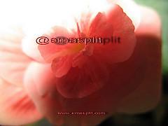 "#93""/09 (emasplit) Tags: flowers rot emasplit explore2009"