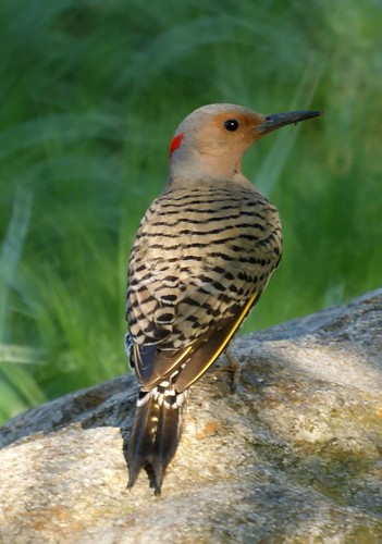 Northern Flicker from Garret Mountain