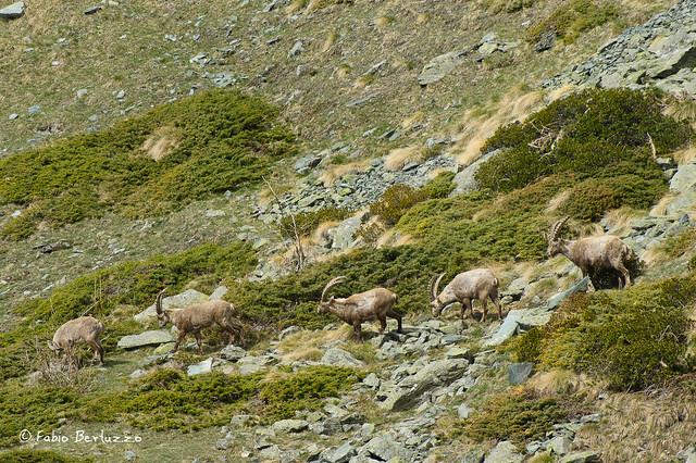 10. Stambecchi intorno al Lago di Cortina