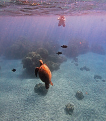 capturing an encounter (bluewavechris) Tags: ocean life camera blue sea brown fish green nature water animal coral swim hawaii photo sand marine underwater snorkel turtle reptile wildlife bottom dive shell maui reef creature flipper