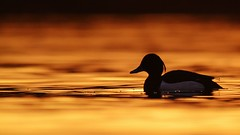Swimming in Gold ~ explored (JamesO'Neill) Tags: sunset bird water golden duck lough tufted aythya fuligula neagh vision:sunset=0855 vision:outdoor=0745 vision:sky=0928 vision:clouds=0661