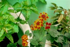 (Daniel Pascoal) Tags: flor flower green verde pentax pentaxme film analogic filme analógico kodak400 lantana danielpg public analog 35mm danielpascoal