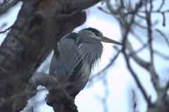 winterheron (reyfox) Tags: blue heron river great boise greenbelt