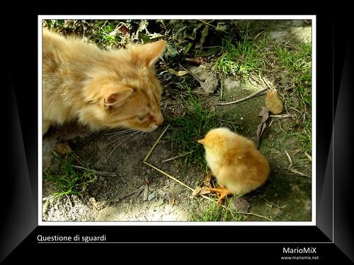 Questione di sguardi tra un gatto e un pulcino