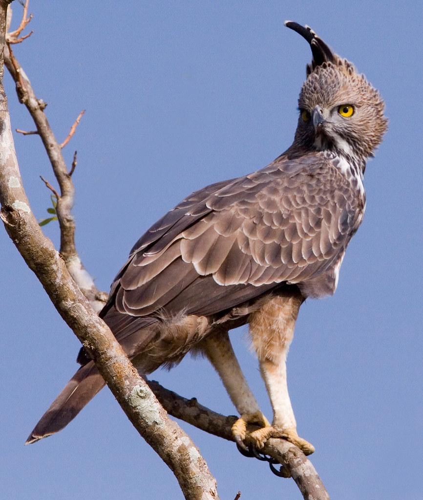 Changeable Hawk - Eagle