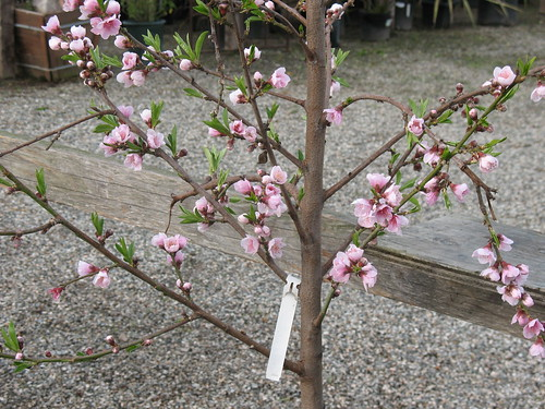 peach tree flowering