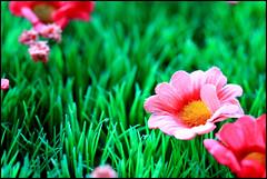 Thwd (angus clyne) Tags: macro scotland summertime fakeflowers flikcr greengreengrass glenuig plasticgrass