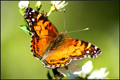 First Butterfly of 2009