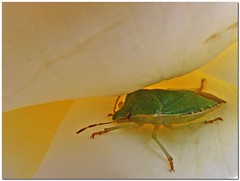 Green beetle - Hidden in a rose (Vestaligo - Vacation with Internet connection) Tags: vienna green rose yellow garden insect austria europe beetle garten kfer potofgold aphrophoridae schaumzikaden