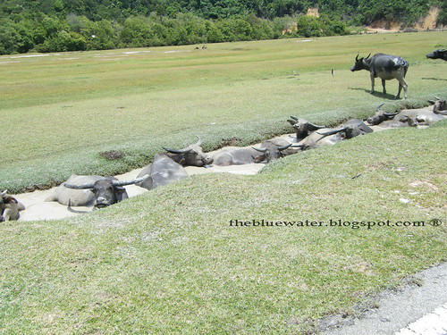 More Water Buffaloes