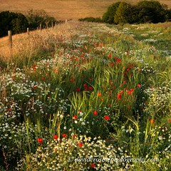 Cranborne Chase, Dorset - Wild Flowers (David Crosbie) Tags: summer dorset poppy poppies wildflowers cranbornechase mywinners fbdg sailsevenseas