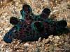 Velutin Snail (Coriocella nigra) (Brian Mayes) Tags: canon underwater philippines shell scuba diving toros anilao 786 g9 brianmayes coriocellanigra secretbay canong9 velutinidae