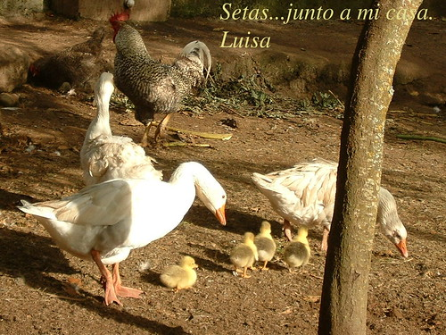 ocas con pollos