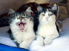 Torresmo e Panceta (paulo.fernandes) Tags: camping cats minasgerais canon gatos tent felinos animais katzen sono barraca tenda bocejo filhotes torresmo panceta xti catmoments pennsuladosol