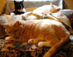 Three Amigos Resting (Gail S) Tags: cats pinky tuxedo 3amigos thepuss catsandwindows catsforever bestofcats