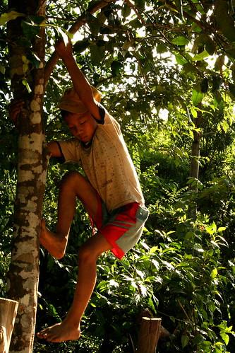 Climbing the tree to retrieve pomelos.