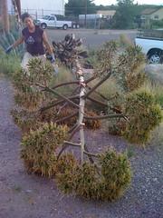 A Century Plant Stalk #2