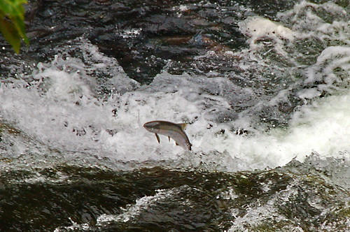 Salmon Jumping Up the Rapids by Dave Bezaire & Susi Havens-Bezaire, on Flickr