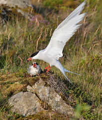 Artic Tern feeding a youngster (thordurb) Tags: bird iceland feeding youngster artic tern