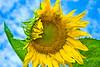 Sunflower Explosion (JGo9) Tags: blue sky flower green yellow clouds petals nikon sunflower topaz d60