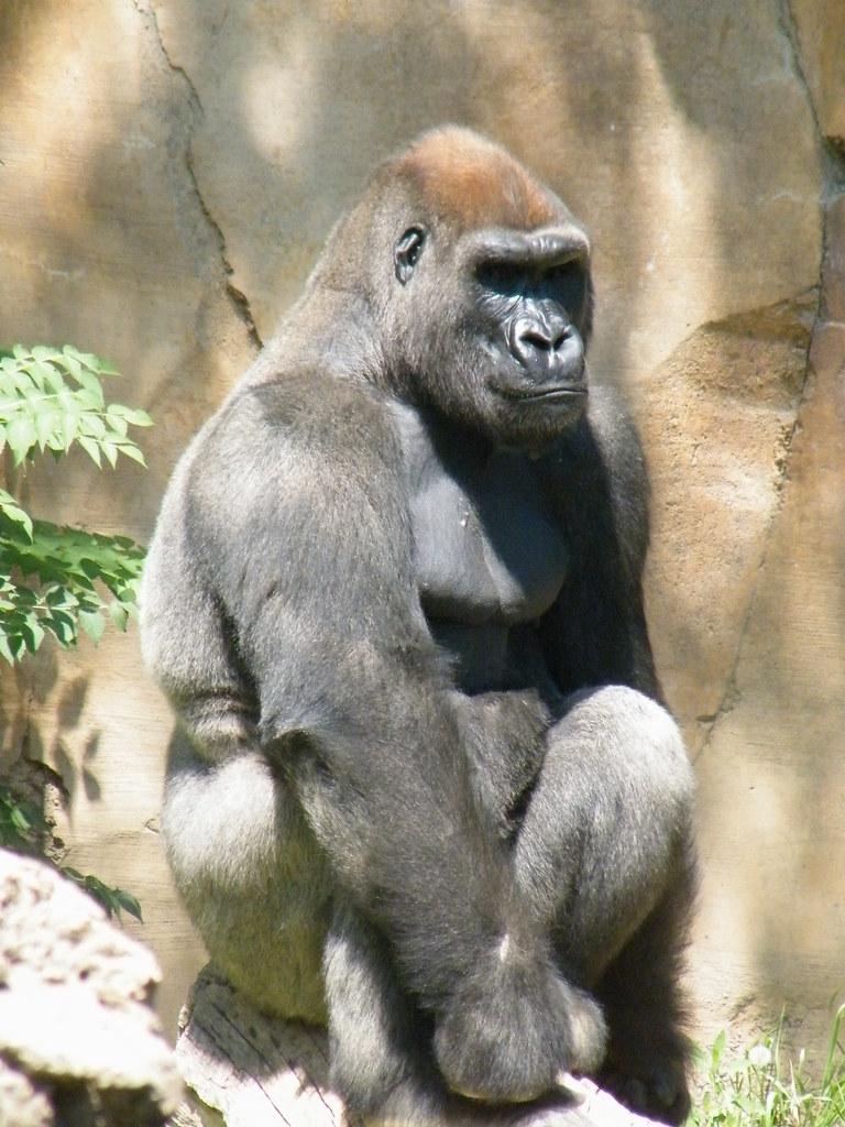 Omaha Zoo Gorilla