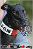 Greyhound Galliano, Belgien