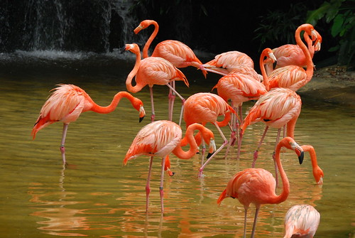 Carribbean Flamingoes
