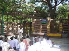 Bodhi Tree ~ 菩提樹