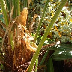 sous les palmiers l'automne !.. (anne marie bouyssou) Tags: autumn fall automne palmtree septembre palmier saison grappe lumiredautomne noteautomnale