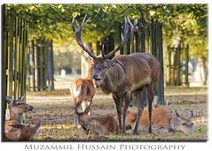 Protector (Muzammil (Moz)) Tags: uk boss london canon20d deer deers bushypark tamron200400 muzammilhussain